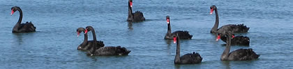cisnes negros buena.jpg